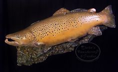 Ontario brown trout taxidermy; fishing; trout; fly fishing