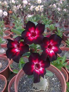 Blog Multi Vasos: Rosa do Deserto com Aspecto Feio
