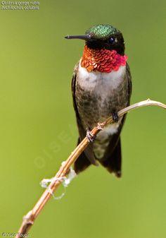 Image issue du site Web http://yvon.toupin.oiseaux.net/images/colibri.a.gorge.rubis.yvto.3g.jpg