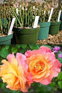 How to grow roses from cuttings easily! Compare the BEST & worst ways to propagate in water or soil, using potatoes, & root by air layering. - A Piece of Rainbow backyard, garden, flower gardening ideas, flowers, spring, summer, propagation, rooting plants #roses #propagation #backyard #gardens #gardening #gardeningtips #gardenideas #containergardening #diy #summer #spring #porch Rose Cuttings, Plant Cuttings, Rose Propagation, Rooting Roses, Rooting Plants, Planting Roses, Flower Gardening, Garden Roses, Roses In Potatoes