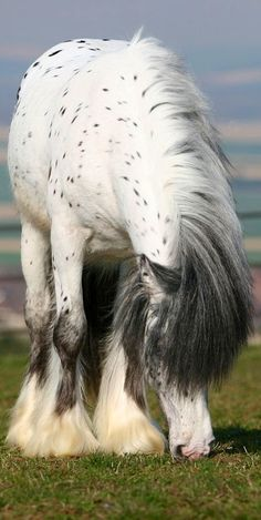 I would so want this horse... it has a appaloosa coat and it is a draft!!! IM IN LOVE!!!