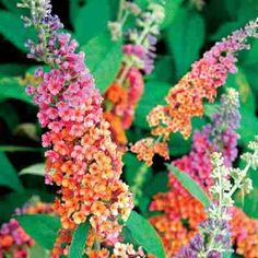 Bi-color Butterfly Bush It's absolutely gorgeous, large, zone hardy 5-9. Now where to put one!