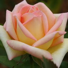 """The Lady, Another of those perfect hybrid tea 5"""" blooms (petals 35) from Fryers of England. The breeder calls it honey yellow edged with salmon. An upright continual blooming plant with medium green, glossy foliage. A Gold Medal winner in Germany."""
