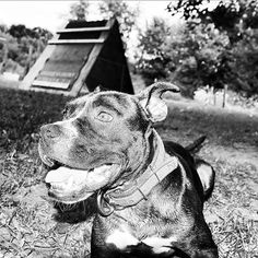 """""""When it comes to pit bulls the beast is often the two-legged animal at the other end of the leash."""""""