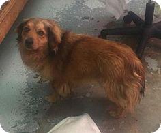 Phoenix, AZ - Australian Shepherd/Sheltie, Shetland Sheepdog Mix. Meet Dodger, a dog for adoption. http://www.adoptapet.com/pet/17983887-phoenix-arizona-australian-shepherd-mix