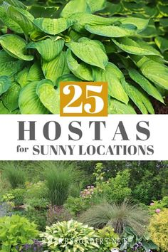 Hostas you can grow in sunny locations with the right care. #growingtips #plantlists #hostas #empressofdirt