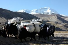 Yaks carry gear from ABC to the Interim Camp(N for next photo; P for previous; X to close.)