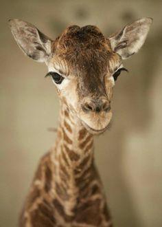 giraffe helps its newborn calf take its wobbly first steps A newly born giraffe at Marwell Wildlife, near Winchester, Hampshire.A newly born giraffe at Marwell Wildlife, near Winchester, Hampshire. Cute Creatures, Beautiful Creatures, Animals Beautiful, Animal Pictures, Cute Pictures, Photo Animaliere, Tier Fotos, Fauna, Cute Baby Animals