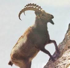 Capricorn Rising, Capricorn Goat, Kangaroo, Goats, Animals, Google Search, Baby Bjorn, Animales, Animaux