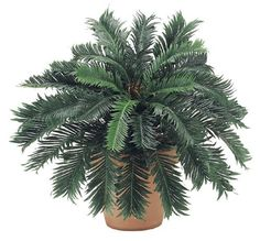 24 Cycas Palm Bush x30 Pack of 6 >>> You can get additional details at the image link.