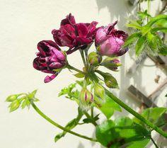 Een blog over de Pelargonium (Geranium) - http://www.tuinieren.nl/tuinnieuws/planten/de-pelargonium.html