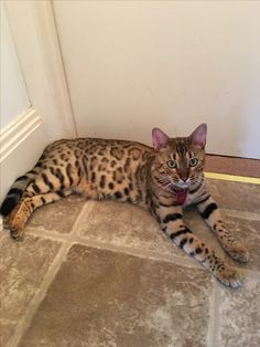 Bengal Cat Bengal Cats, Tortoise Shell, Cute Cats, Kitty, Animals, Pretty Cats, Little Kitty, Animales, Animaux