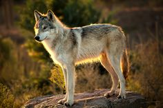 Wolf Morning by Larry Pollock on 500px