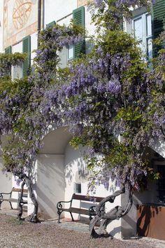 © Valentina Pasolini #VillaPanza #Varese fioritura #glicine
