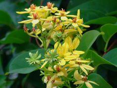 MALPIGHIACEAE 黃褥花科 - Maiden's Jealousy (Tristellateia australasiae) 三星果藤