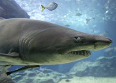Shark cartilage, hyped as a cancer preventive and joint-health supplement, may contain a neurotoxin that has been linked with Alzheimer's and Lou Gehrig's disease, a new study suggests. Oxford College, Beach Clean Up, Nurse Shark, Save Our Oceans, Marine Conservation, Stop Animal Cruelty, Marine Biology, Shark Week, Underwater Photography