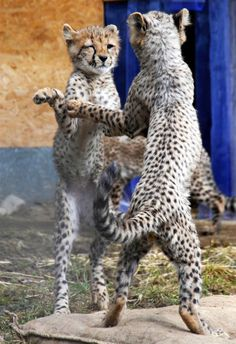 Young cheetahs sparring