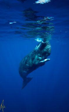 Sperm whale.