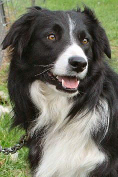 border collier | Border Collie - InfoVeto