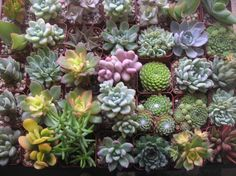 Rustic Wedding A Collection Of 12 Succulent by SucculentsGalore, $36.00
