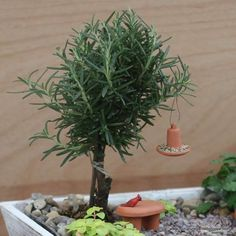 The herb rosemary pruned into a miniature tree for fairy garden...