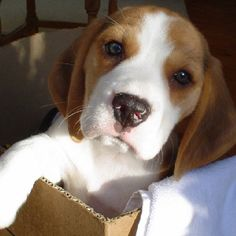 Are you interested in a Beagle? Well, the Beagle is one of the few popular dogs that will adapt much faster to any home. Cute Beagles, Cute Puppies, Cute Dogs, Dogs And Puppies, Doggies, Art Beagle, Beagle Puppy, Calm Dog Breeds, Dog Friends