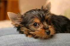 This reminds me of a mini Zeke! Little Puppies, Little Dogs, Doggies, Pet Dogs, Animals And Pets, Cute Animals, Dog Breeds List, Teacup Yorkie, Terrier Breeds