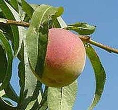 How to Grow Peach Trees from Peach Pits