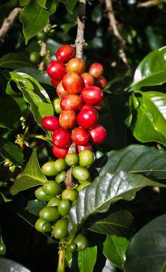 Colombia #káva