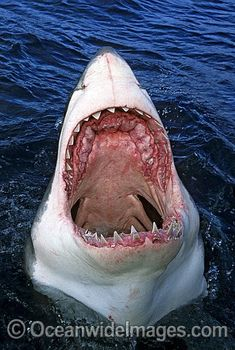 My personal favorite: the great white shark. A large predatory creature, the great white can weigh anywhere from pounds and up to 21 ft in length. They eat anything from seals, fish, and even birds. Shark Pictures, Shark Photos, Animal Pictures, Underwater Creatures, Underwater Life, Ocean Creatures, Orcas, Wow Photo, Shark Jaws