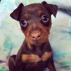 Meet Butterbean, an adoptable Miniature Pinscher looking for a forever home. If you're looking for a new pet to adopt or want information on how to get involved with adoptable pets, Petfinder.com is a great resource.