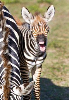 Baby Zebra on the Serengeti Plain at Busch Gardens Tampa