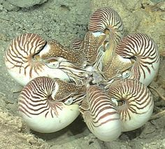 Nautiluses eating. This photo was taken at a depth of 876 feet, near the Pacific island of Palau.