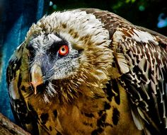bearded vulture  (photo by borko dinus)