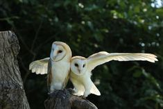 Barn Owls, Haggerston Castle, Berwick-upon-Tweed, Northumberland, England