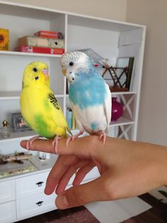Budgies Parrot, Parakeets, Parrots, Cute Birds, Nests, Beautiful Birds, Animals And Pets, Feathers, Houses