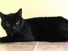 TO BE DESTROYED 5/15/14 ** Meow tolerates attention and petting but may be stressed in the shelter. He may have some behavioral issues that will need to be addressed in the home. Please save this pretty panther kitty tonight! ** Manhattan Center  My name is MEOW. My Animal ID # is A0998325. I am a neutered male black amer sh mix. The shelter thinks I am about 4 YEARS old.  I came in the shelter as a OWNER SUR on 05/01/2014 from NY 10458, owner surrender reason stated was COST.