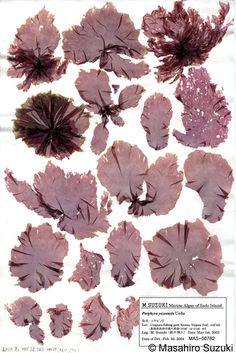 Porphyra yezoensis Sado