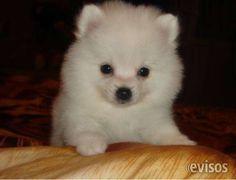 blanco puro 12 semanas cachorros de Pomerania  blanco puro 12 semanas cachorros de Pomerania    son  ..  http://santiago-city.evisos.cl/blanco-puro-12-semanas-cachorros-de-pomerania-id-607326