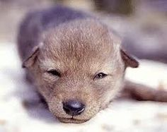coyote pup <3