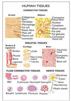 Tissue level of organization. Human Body Anatomy, Human Anatomy And Physiology, Skin Anatomy, Tissue Biology, Nursing School Notes, Medical School, Human Tissue, Medical Laboratory Science, Human Body Systems