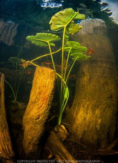 Yellow water Lily leaves floating on the surface amoungst old cedar tree stumps in Cedar Lake.	Copyright:Eiko Jones