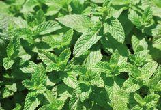 Δυόσμος - Mentha spicata, Lamiaceae|| ο δυόσμος χρησιμοποιείται σε προϊόντα στοματικής υγιεινής αλλά και σε σαμπουάν και σαπούνια. Σαν βότανο δρα κατά της γυναικείας τριχόπτωσης και του στομαχόπονου και έχει αντιοξειδωτικές ιδιότητες. Το αιθέριο έλαιο του δυόσμου  θεωρείται ότι περιορίζει την αϋπνία.