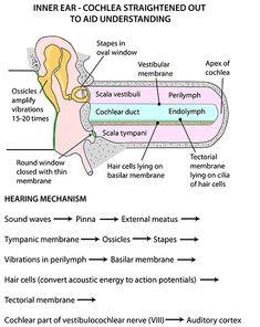 Instant Anatomy - Head and Neck - Areas/Organs - Ear - Cochlea displayed diagrammatically Ear Anatomy, Gross Anatomy, Anatomy Bones, Human Body Facts, Speech And Hearing, Nursing Mnemonics, Human Anatomy And Physiology, Medical Anatomy, Speech Language Pathology