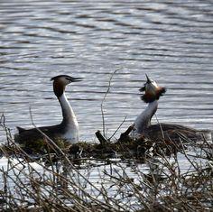 Årets första skäggdoppingpar 160322 #skäggdopping #fåglar #birdlife #birds #doppingar #birdwatching #hornborgasjön #naturumhornborgasjön #fowl_waterfowl #ig_week_spring2016 #nikond7200photography #nikon