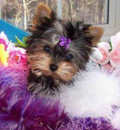 pretty yorkie puppy