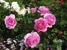 Hoa hồng leo Diễm Khuê 189 - hồng đậm, cánh đều tròn cân đối với hương trà. Cây thích hợp trồng leo ban công buông rủ mềm mại - điểm nhấn độc đáo nhất  - Đây là giống hoa hồng Anh