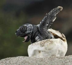 Welcome to the world...A baby loggerhead turtle