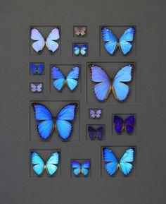 24×30 Cerulean Butterflies on Graphite   Pheromone Wholesale #ChristoperMarley #Butterflies