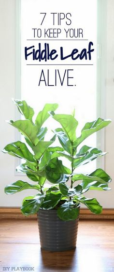 How to Keep a Fiddle Leaf Fig Plant Alive We love adding indoor plants to our home to add some life and freshness. But they can be hard to keep alive. Here are 7 tips to keep your fiddle leaf fig plant alive & well for years!